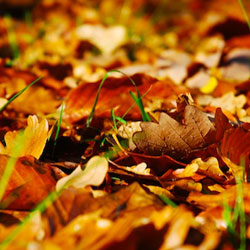 Leaf Removal Tips: Should I Mulch or Remove? Thumbnail